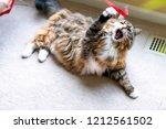 closeup of maine coon cat ...   Shutterstock . vector #1212561502