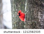 funny one red northern cardinal ...