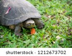 yellow headed temple turtle... | Shutterstock . vector #1212673702
