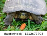 yellow headed temple turtle... | Shutterstock . vector #1212673705