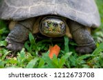yellow headed temple turtle... | Shutterstock . vector #1212673708