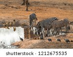 Groups of yellow baboons, zebras and guinea fowl sharing a waterhole in Majete Wildlife Reserve in Malawi.