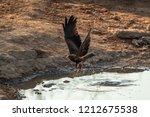 yellow billed kite flying off... | Shutterstock . vector #1212675538