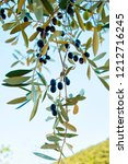ripe olives on olive tree  | Shutterstock . vector #1212716245