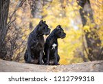 Two Cane Corso Dogs Are ...