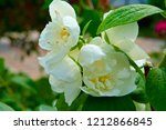 white jasmine flowers. | Shutterstock . vector #1212866845