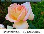 tea hybrid white pink rose. | Shutterstock . vector #1212870082