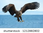 adult white tailed eagle in... | Shutterstock . vector #1212882802