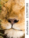 closeup nose of male lion... | Shutterstock . vector #1212907288
