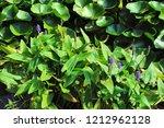 pickerel weed plants ... | Shutterstock . vector #1212962128
