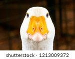 Portrait Of A White Geese With...