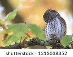 eurasian pygmy owl swabian jura   Shutterstock . vector #1213038352