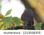 eurasian pygmy owl swabian jura   Shutterstock . vector #1213038355