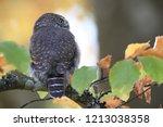 eurasian pygmy owl swabian jura   Shutterstock . vector #1213038358