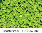 fresh green spearmint | Shutterstock . vector #1213057702
