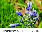 The Bright Purple Buds Of A...