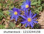 grecian windflower  anemonoides ...   Shutterstock . vector #1213244158