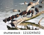 white faced whistling duck ... | Shutterstock . vector #1213245652