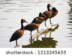 white faced whistling duck ... | Shutterstock . vector #1213245655