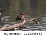 white faced whistling duck ... | Shutterstock . vector #1213245658