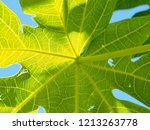 green papaya leaves are... | Shutterstock . vector #1213263778