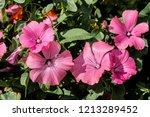annual mallow  lavatera...   Shutterstock . vector #1213289452