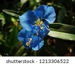 Large Commelina Flower Showing...