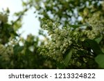 a branch of blossoming lilac ... | Shutterstock . vector #1213324822