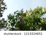 a branch of blossoming lilac ... | Shutterstock . vector #1213324852