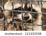 Raccoon In A Cage.