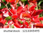 autumn colorful barberry red... | Shutterstock . vector #1213345495