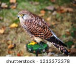 view of a kestrel  falco... | Shutterstock . vector #1213372378