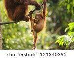 Stock photo baby orangutan playing 121340395