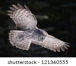 Stock photo great grey owl hunting 121360555
