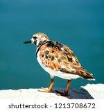 ruddy turnstone  arenaria... | Shutterstock . vector #1213708672