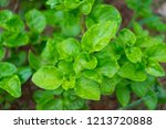 watercress herb garden  close... | Shutterstock . vector #1213720888