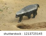 the honey badger  also known as ... | Shutterstock . vector #1213725145