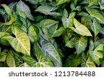 tropical climbing plant green... | Shutterstock . vector #1213784488