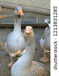 portrait of two gray gooses... | Shutterstock . vector #1213831285