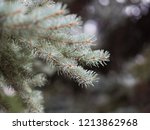 close up of blue spruce twig....   Shutterstock . vector #1213862968
