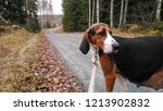 Finnish Hound. Pregnant dog walking in the road on the forest.
