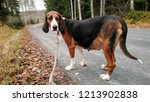 Small photo of Finnish Hound. Pregnant dog walking in the road on the forest.