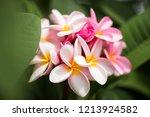 frangipani flowers close up...   Shutterstock . vector #1213924582