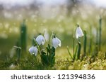 Snowdrop Flower In Nature With...