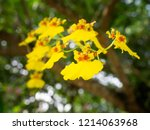 yellow dancing lady orchid... | Shutterstock . vector #1214063968