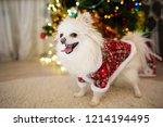Dog Breed Pomeranian In White...