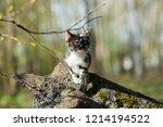 small kitten of tortoiseshell... | Shutterstock . vector #1214194522