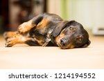dog dachshund lying on the floor | Shutterstock . vector #1214194552