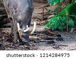 Babirusa Deer Pigs Babyrousa...
