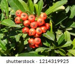 A Bunch Of Pyracantha Coccinea...